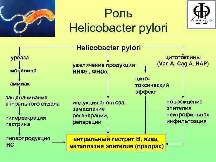 Роль    Helicobacter pylori уреаза