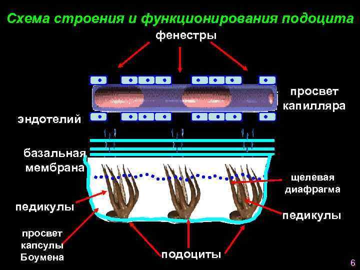 Схема строения и функционирования подоцита    фенестры