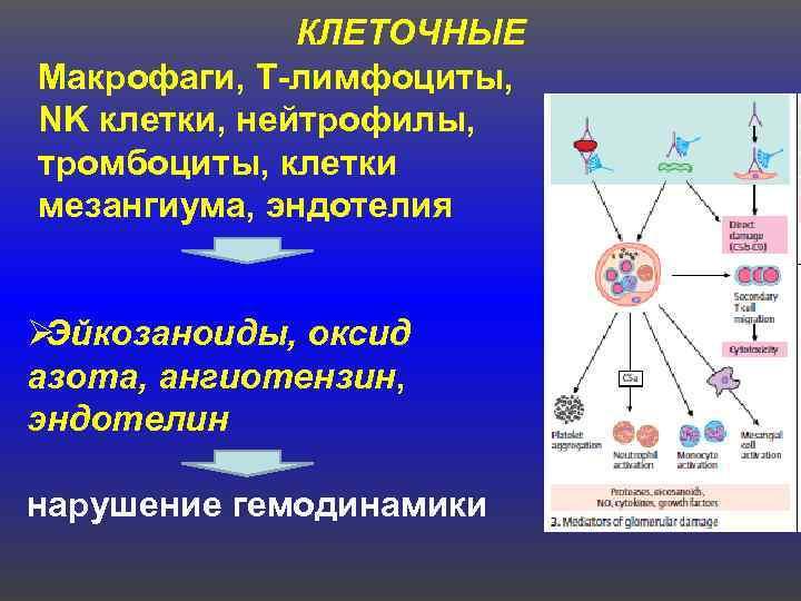 КЛЕТОЧНЫЕ  Макрофаги, Т-лимфоциты,  NK клетки, нейтрофилы, тромбоциты, клетки мезангиума,