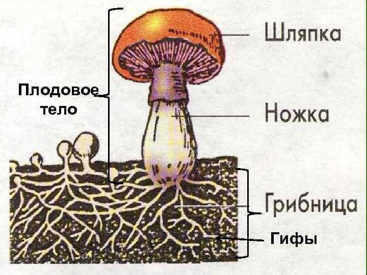 Биология гифы