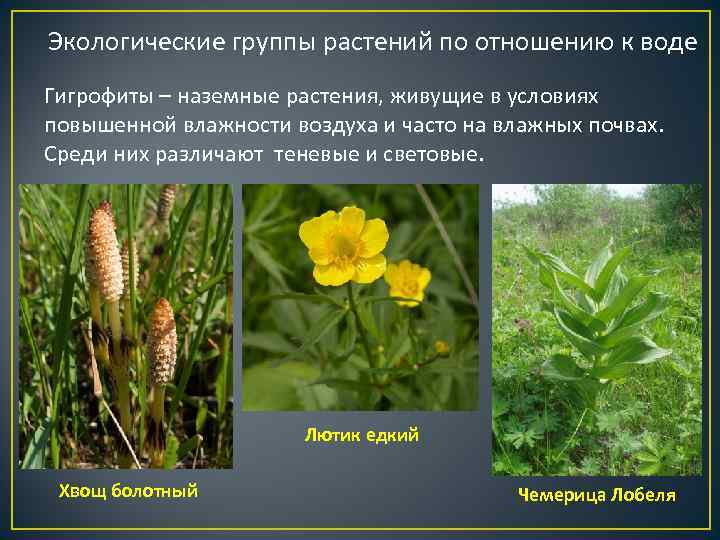 Экологические группы растений по отношению к воде Гигрофиты – наземные растения, живущие в условиях