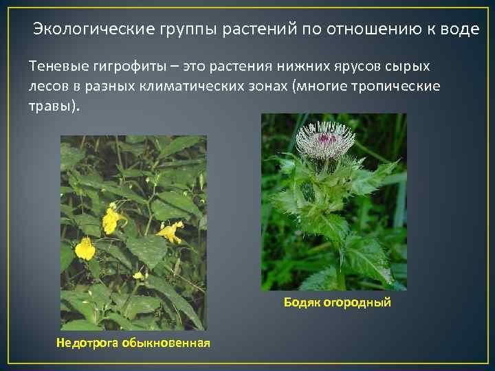 Экологические группы растений по отношению к воде Теневые гигрофиты – это растения нижних ярусов