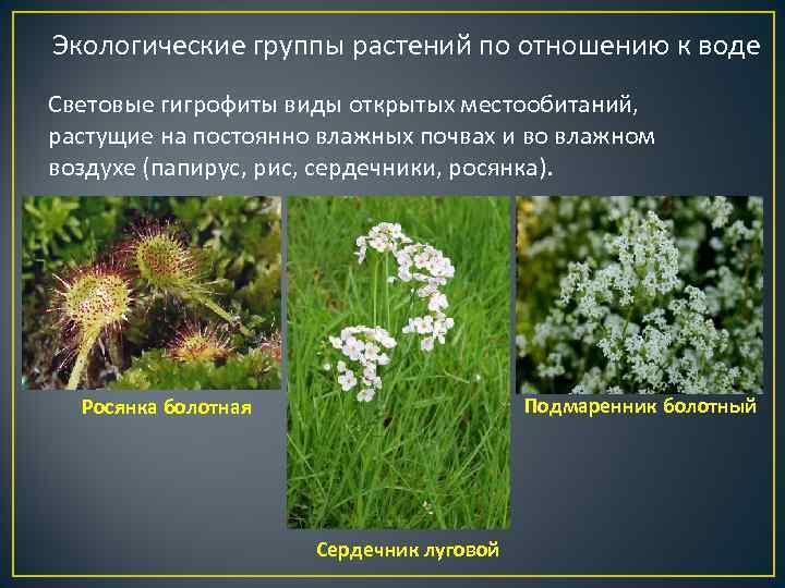 Экологические группы растений по отношению к воде Световые гигрофиты виды открытых местообитаний,  растущие