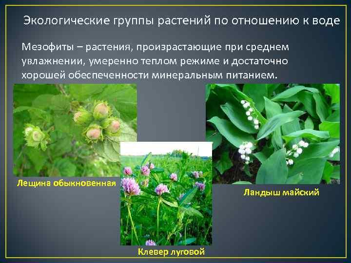 Экологические группы растений по отношению к воде Мезофиты – растения, произрастающие при среднем