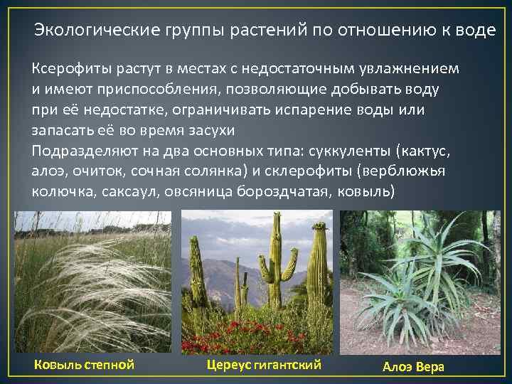 Экологические группы растений по отношению к воде Ксерофиты растут в местах с недостаточным увлажнением