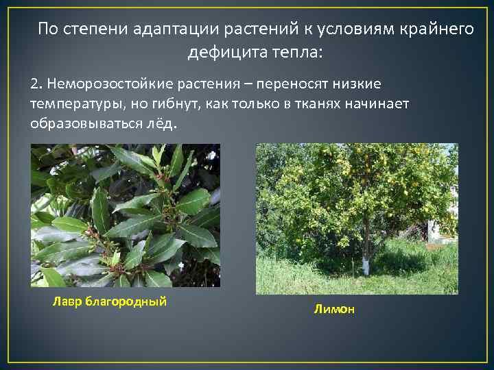 По степени адаптации растений к условиям крайнего   дефицита тепла: 2. Неморозостойкие растения