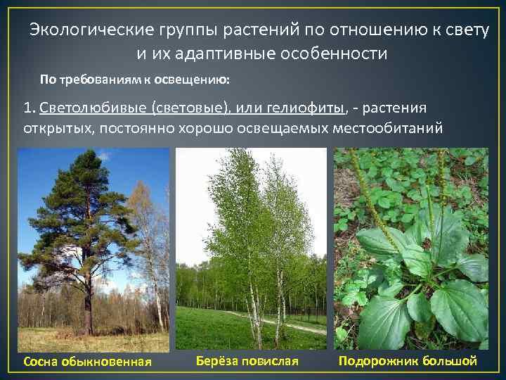 Экологические группы растений по отношению к свету   и их адаптивные особенности