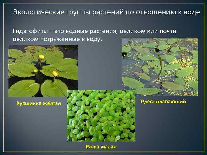 Экологические группы растений по отношению к воде Гидатофиты – это водные растения, целиком или