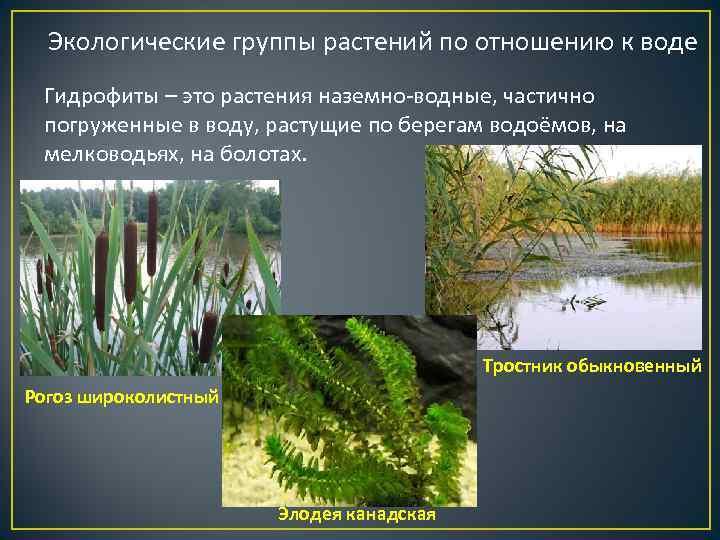 Экологические группы растений по отношению к воде Гидрофиты – это растения наземно-водные, частично