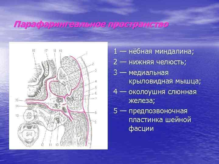 Парафарингеальное пространство     1 — нёбная миндалина;