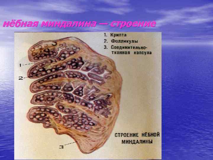 нёбная миндалина — строение