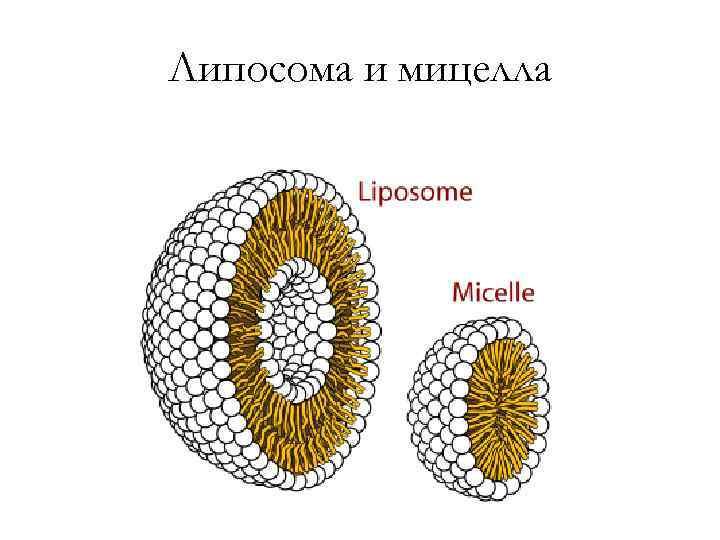Липосома и мицелла