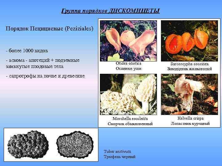 Группа порядков ДИСКОМИЦЕТЫ Порядок Пецициевые (Peziziales)  - более 1000