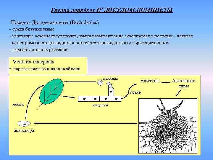 Группа порядков IV ЛОКУЛОАСКОМИЦЕТЫ Порядок Дотидеомицеты (Dothideales) - сумки битуникатные
