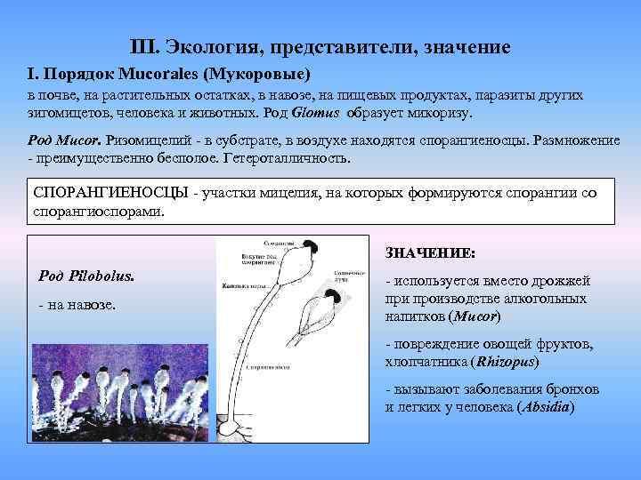 III. Экология, представители, значение I. Порядок Mucorales (Мукоровые) в почве,
