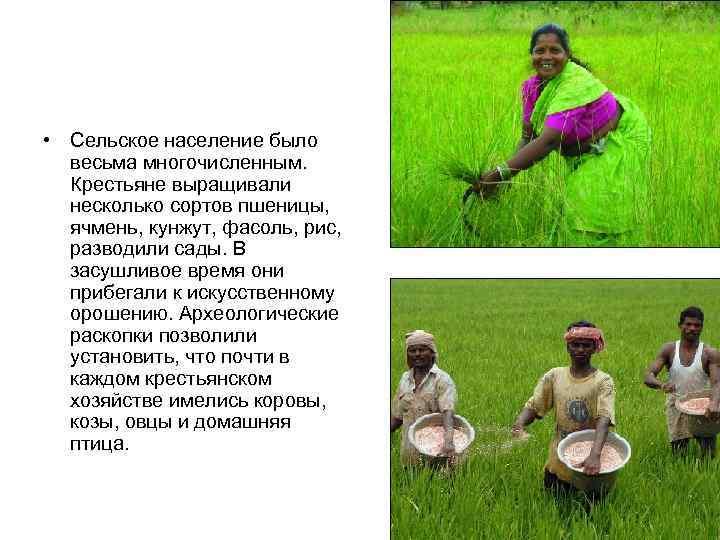 • Сельское население было  весьма многочисленным.  Крестьяне выращивали  несколько сортов