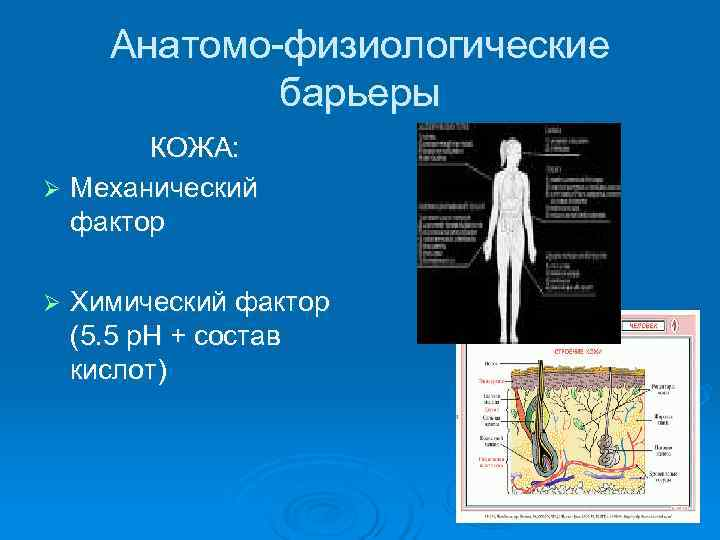 Анатомо-физиологические    барьеры  КОЖА: Ø Механический  фактор Ø