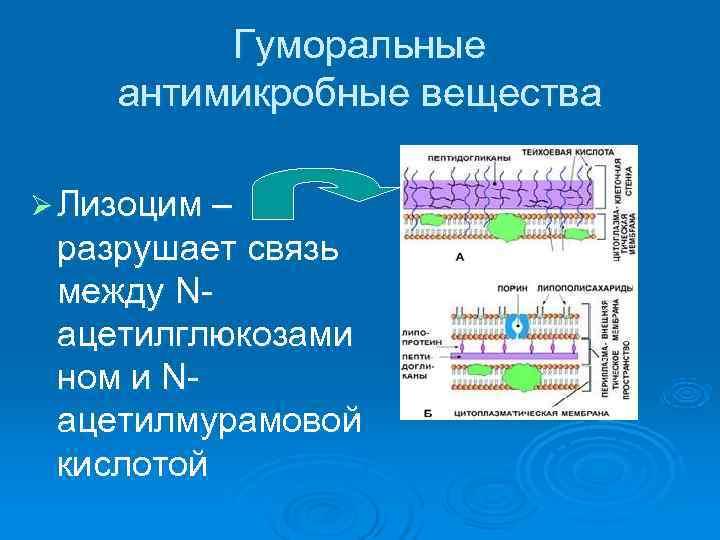 Гуморальные антимикробные вещества Ø Лизоцим – разрушает связь между N- ацетилглюкозами