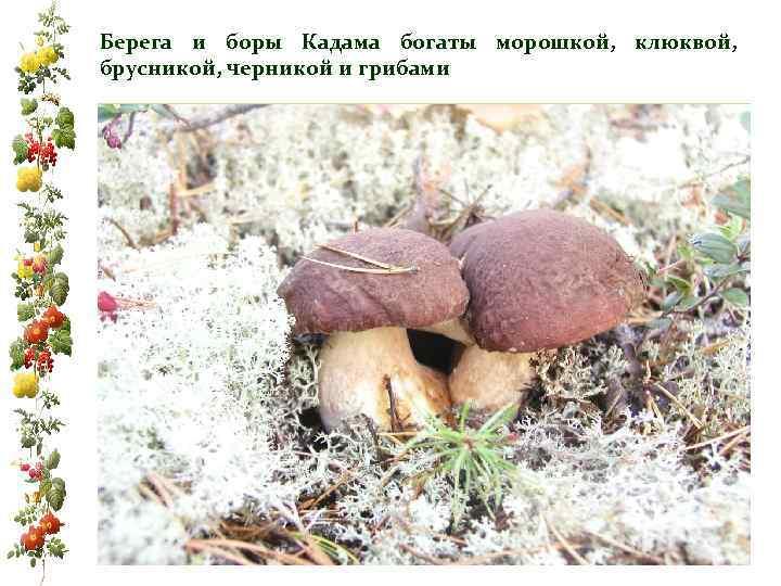 Берега и боры Кадама богаты морошкой, клюквой, брусникой, черникой и грибами