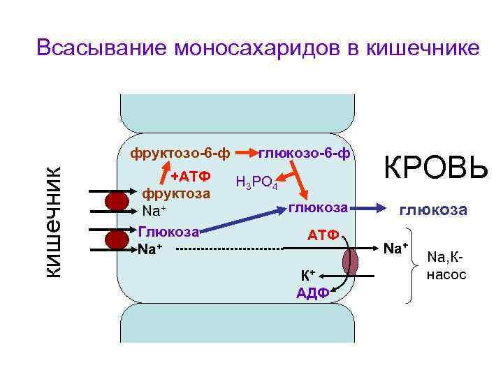Всасывание моносахаридов в кишечнике    фруктозо-6 -ф глюкозо-6 -ф