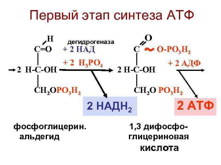 Первый этап синтеза АТФ   Н дегидрогеназа   О  С=О