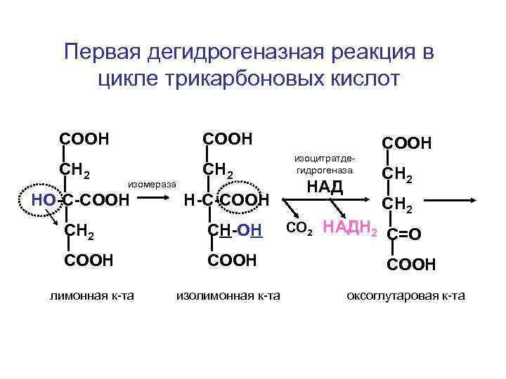 Первая дегидрогеназная реакция в цикле трикарбоновых кислот  СООН