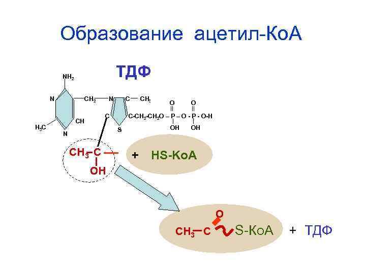 Образование ацетил-Ко. А  NH 2    ТДФ