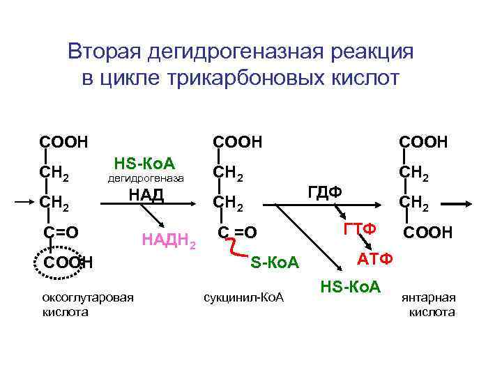 Вторая дегидрогеназная реакция в цикле трикарбоновых кислот СООН