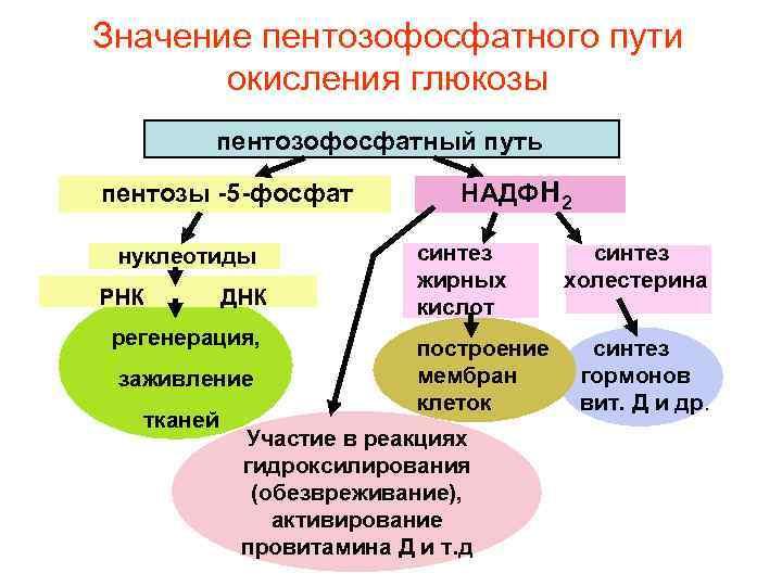 Значение пентозофосфатного пути  окисления глюкозы   пентозофосфатный путь пентозы -5 -фосфат