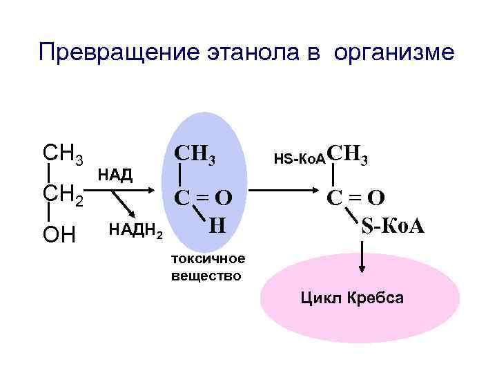 Превращение этанола в организме  СН 3   НS-Ко. АСН 3  НАД