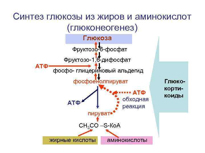 Синтез глюкозы из жиров и аминокислот  (глюконеогенез)     Глюкоза