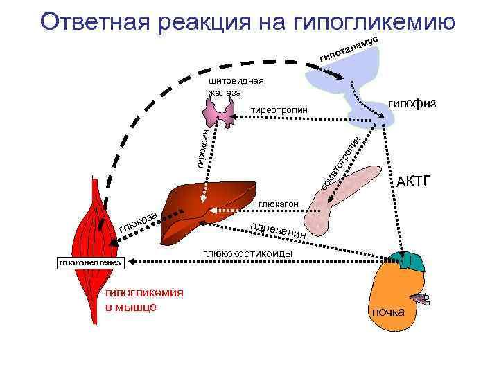 Ответная реакция на гипогликемию      ам ус