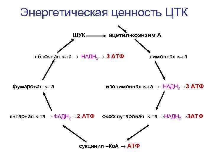 Энергетическая ценность ЦТК     ЩУК   ацетил-коэнзим А