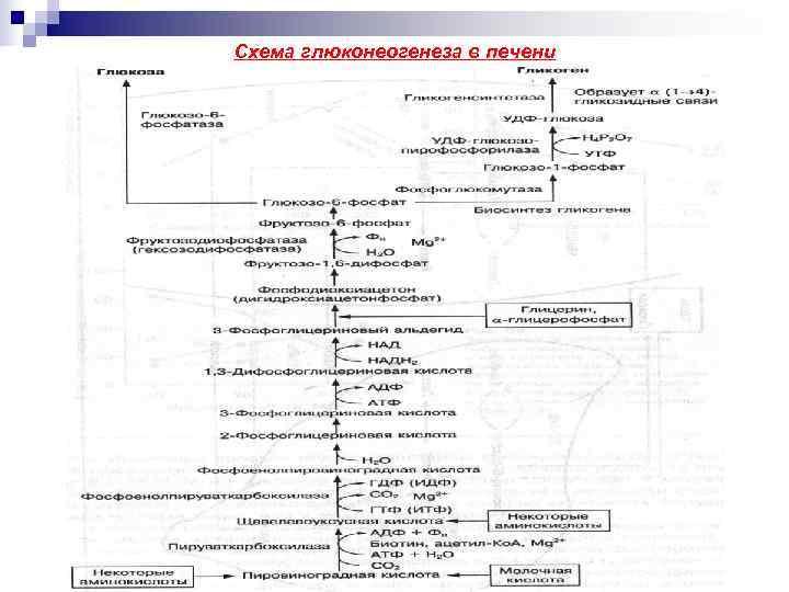 Схема глюконеогенеза в печени