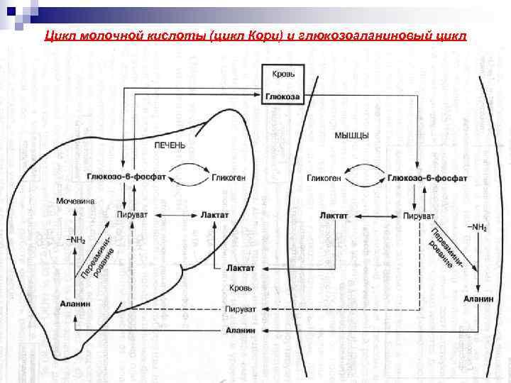 Цикл молочной кислоты (цикл Кори) и глюкозоаланиновый цикл