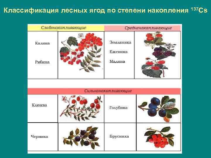 Классификация лесных ягод по степени накопления 137 Cs