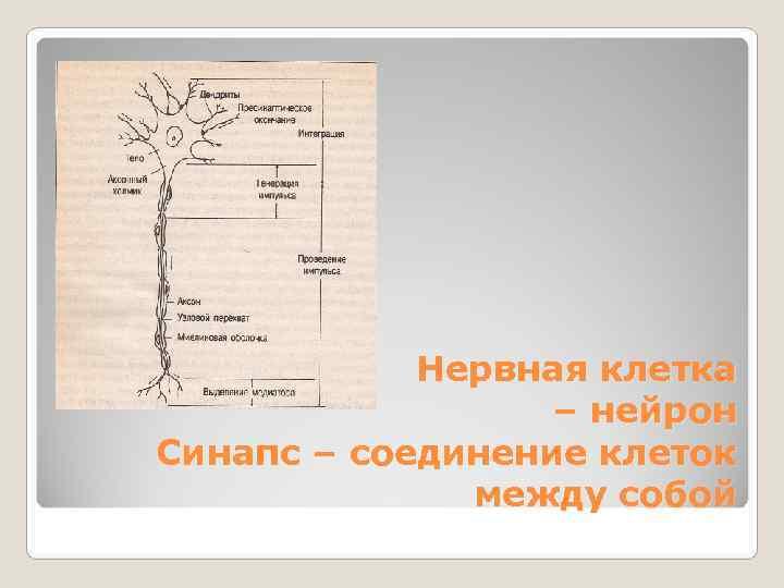 Нервная клетка    – нейрон Синапс – соединение клеток