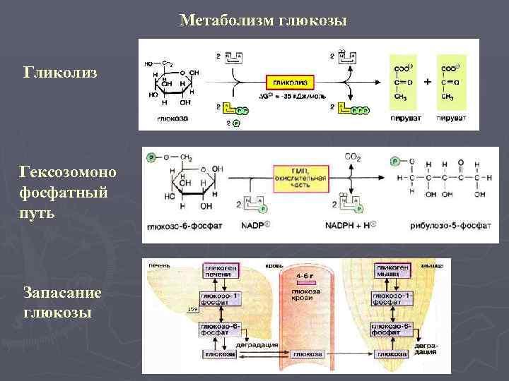 Метаболизм глюкозы  Гликолиз Гексозомоно фосфатный путь  Запасание глюкозы