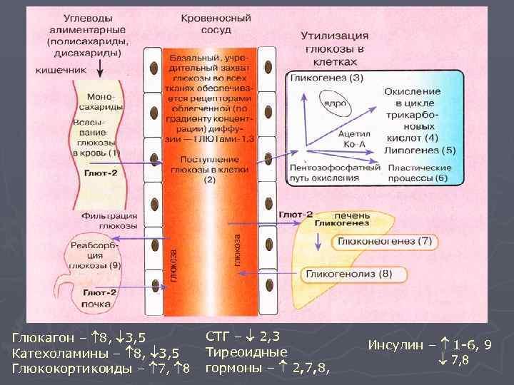Регуляция метаболизма глюкозы Глюкагон – 8,  3, 5  СТГ –