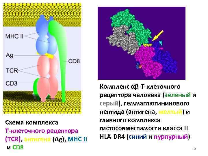Комплекс αβ-Т-клеточного      рецептора