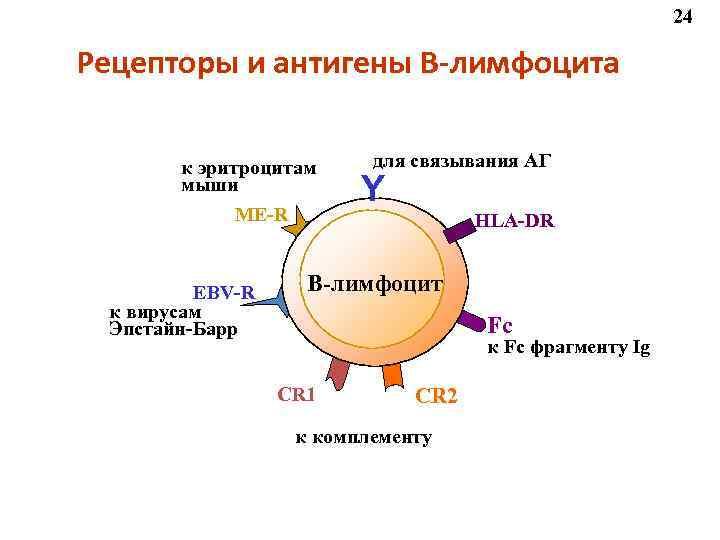 24 Рецепторы и антигены В-лимфоцита   к эритроцитам