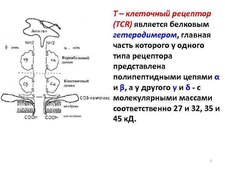 Т – клеточный рецептор (TCR) является белковым гетеродимером, главная часть которого у одного типа