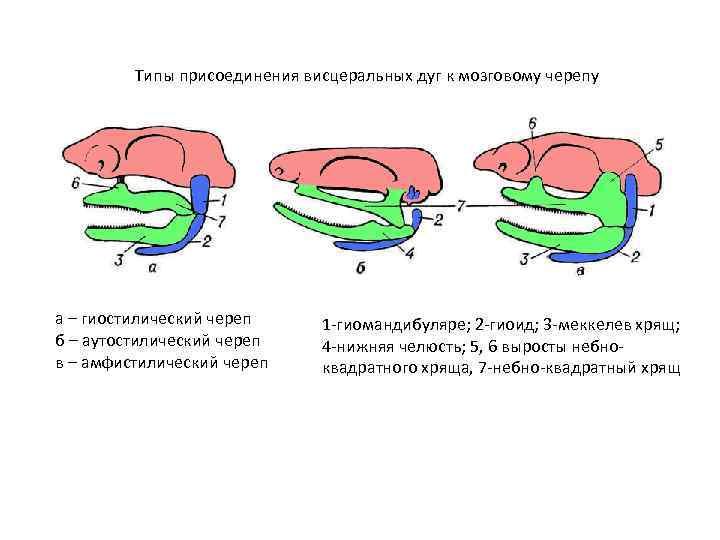 Типы присоединения висцеральных дуг к мозговому черепу а – гиостилический череп