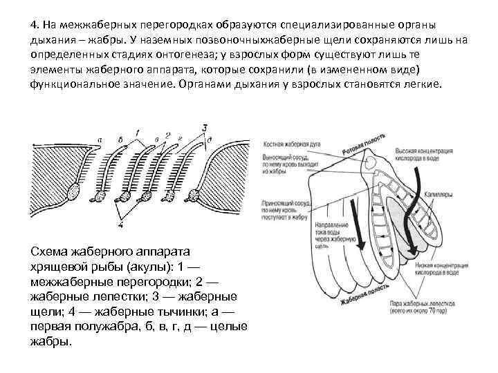 4. На межжаберных перегородках образуются специализированные органы дыхания – жабры. У наземных позвоночныхжаберные щели