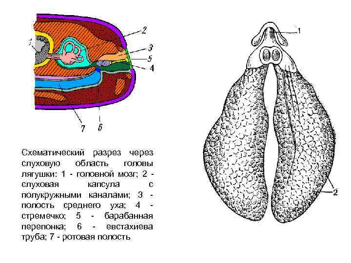 Схематический разрез через слуховую область  головы лягушки: 1  головной мозг; 2