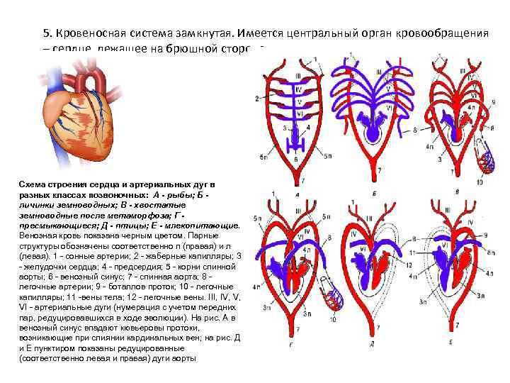 5. Кровеносная система замкнутая. Имеется центральный орган кровообращения  – сердце, лежащее на