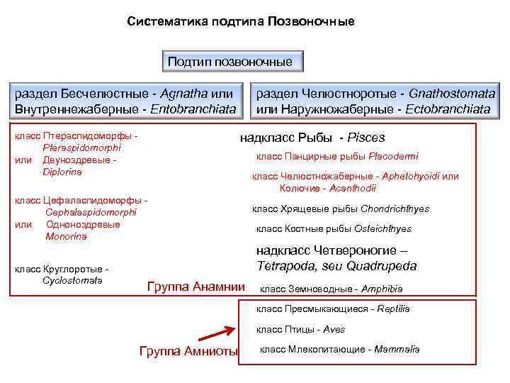 Систематика подтипа Позвоночные