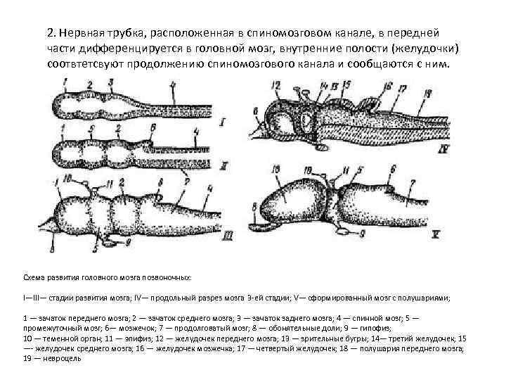 2. Нервная трубка, расположенная в спиномозговом канале, в передней  части дифференцируется в