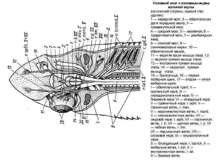 Головной мозг и головные нервы   колючей акулы (со спинной стороны, правый