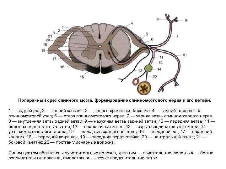 Поперечный срез спинного мозга, формирование спинномозгового нерва и его ветвей.  1